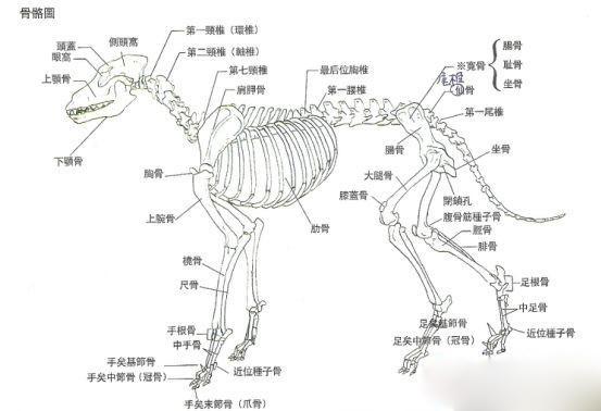 狗狗骨骼系统结构